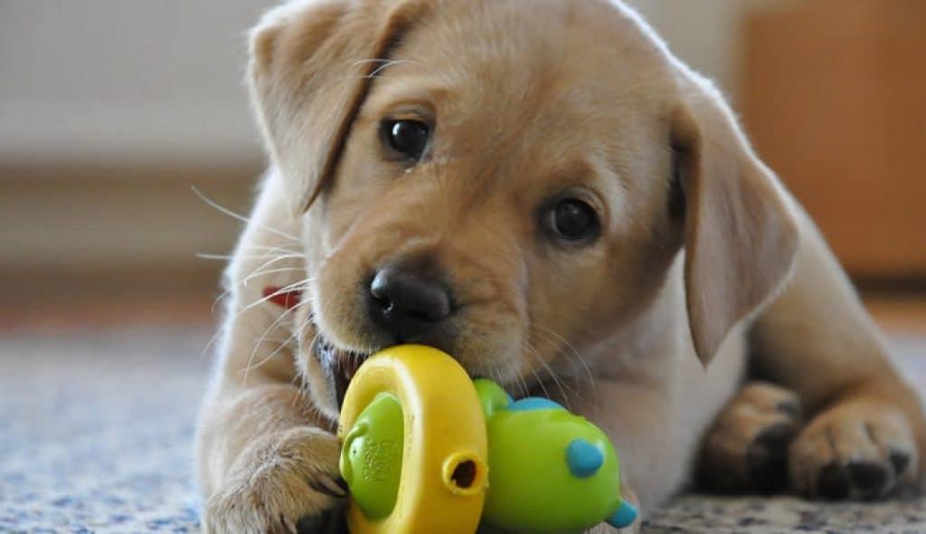 Melhor ração para Labrador filhote