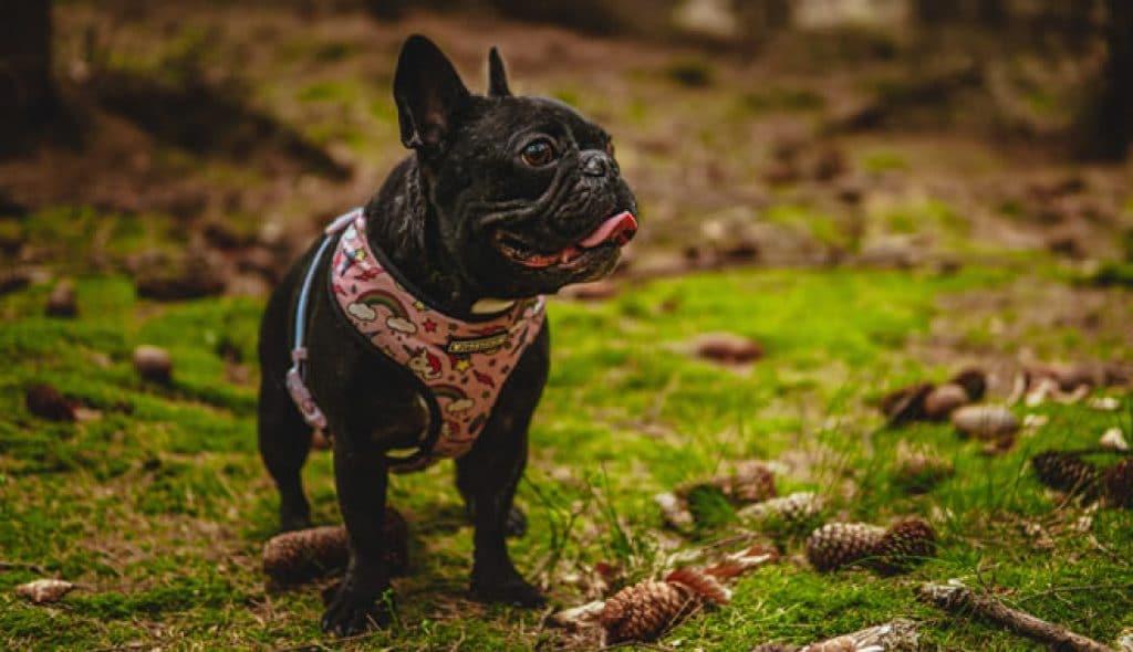 Melhores rações para Bulldog Francês